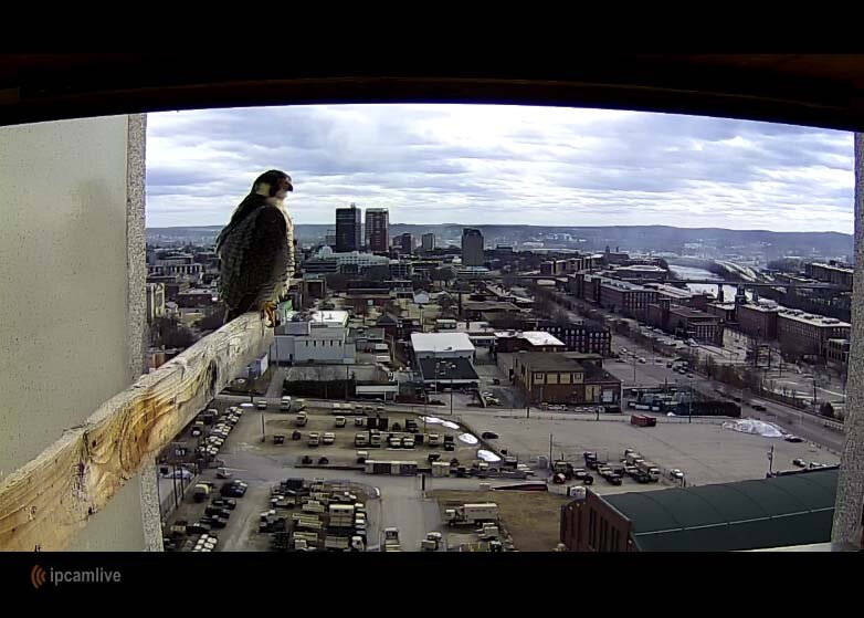 peregrine falcon on webcam